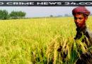 ঝিনাইদহে ২শত কৃষকের মাঝে বিনামূল্যে জিংক ধানের বীজ বিতরন
