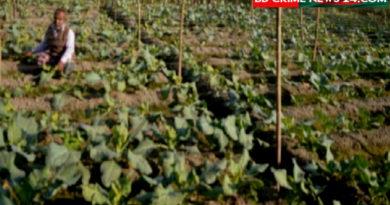 শাজাহানপুরে ভেজাল ছত্রাক নাশক ঔষধে ফসলহানী, কৃষক দিশেহারা