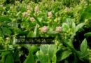 ঝিনাইদহ সদরের সাগান্না বাদপুকুর গ্রামের কৃষক আমির হোসেন পুঁই শাকের মেঁচড়ি আবাদে স্বাবলম্বী