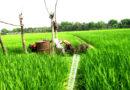ঝিনাইদহে জমি থেকে ৩ লাখ ৫ হাজার টন আমন চাল উৎপাদনের টার্গেট
