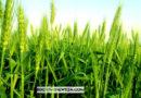 জয়পুরহাটে ২,৫৩৫ হেক্টর জমিতে গম চাষের লক্ষ্যমাত্রা