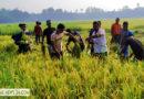 রাজারহাটে কৃষকের ধান কেটে দিলেন উপজেলা ছাত্রলীগ