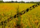 নীলফামারীতে বোরোর বাম্পার ফলনে কৃষকের মুখে হাসি