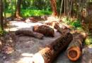 নোয়াখালী পৌরসভার ৯নং ওয়ার্ডে জোরপূর্বক গাছ কাটার অভিযোগ